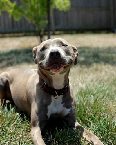 EVERYONE LOOK AT THIS SMILE IMMEDIATELY. #dog #pitbull #pit bull