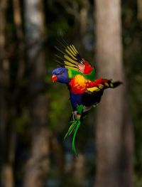 rainbow lorikeet by trevor anderson