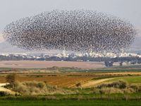 January 24, 2013: A flock of starlings fly over an agricultural field near - The Independent
