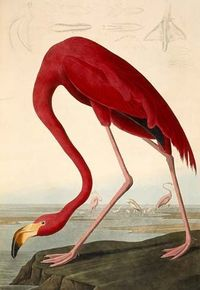 John J Audubon: The Birds of America