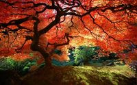 japanese maple - i love this so much!