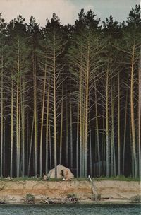 Tall trees, small tent