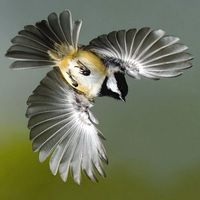 chickadee (?) in flight