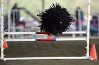 Puli running an obstacle course -- best picture ever!