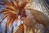 Polish rooster, so orange and so ornery.