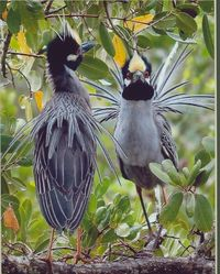 Crown Night Herons-- maiting dance