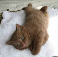 British short hair cinnamon kitten..