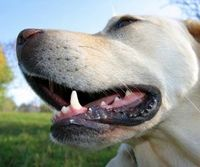 Hot to clean your dog's teeth at home.