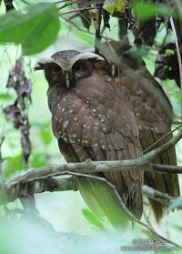 Crested Owl Duo